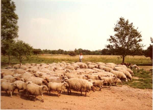 schapen1