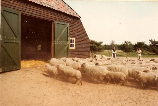 schapen naar binnen1