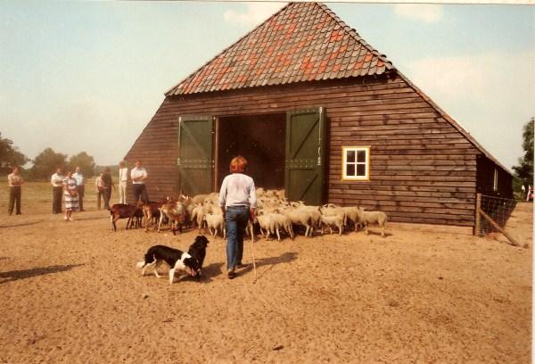 schapen naar binnen2