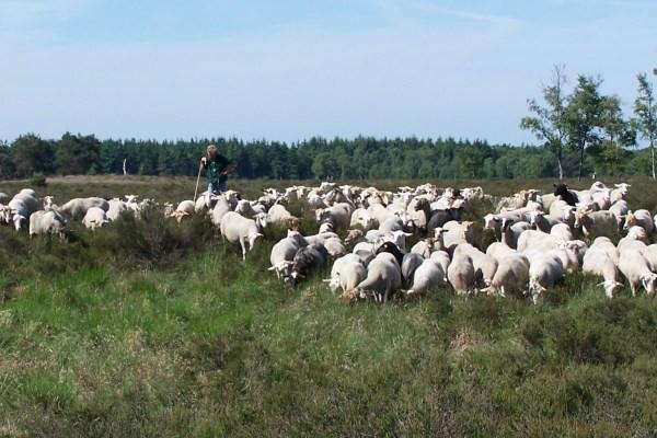 schapen met herder op heide