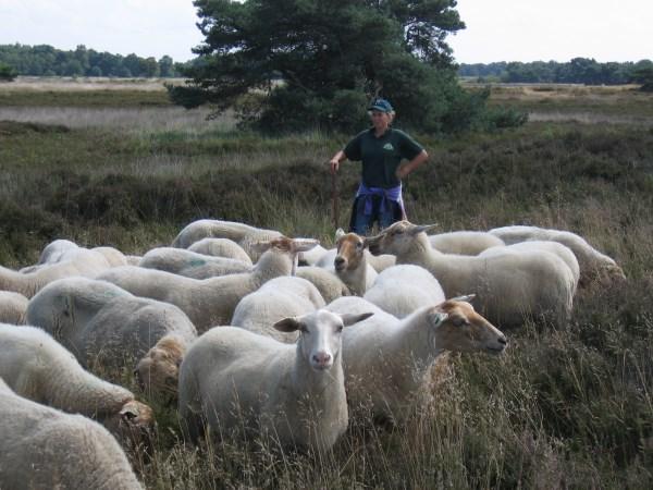 schapen met herderin
