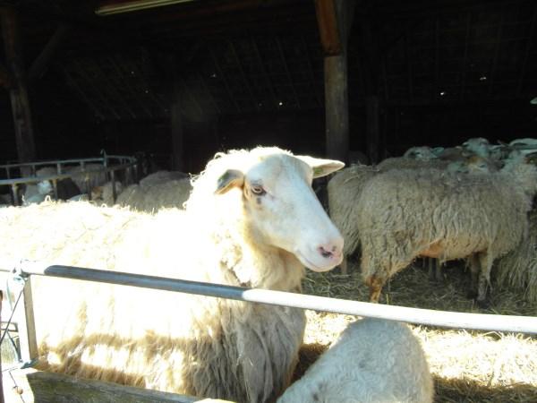 schapen2