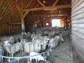 schapen in kooi