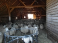 schapen in kooi3