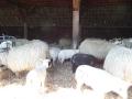 schapen in kooi4