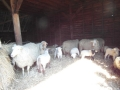 schapen in kooi5