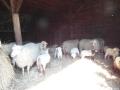 schapen in kooi5
