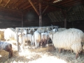 schapen in kooi6