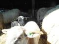 schapen in kooi7