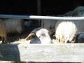 schapen in kooi8