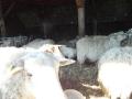 schapen in kooi9