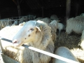 schapen in kooi10
