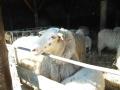 schapen in kooi11