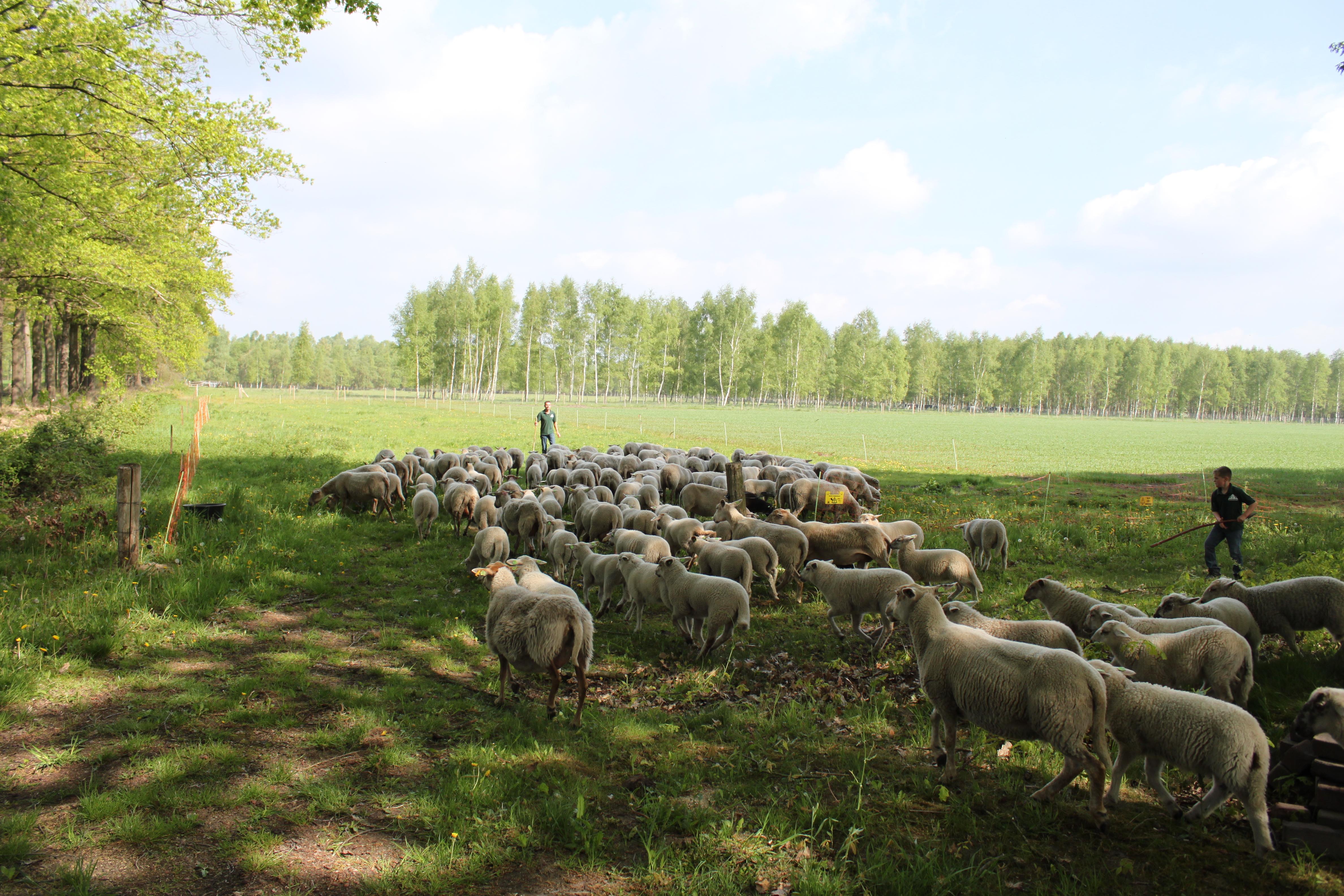 kudde volgt de herder