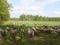 schapen in het raster