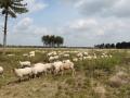 schapen op de heide