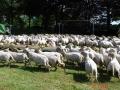 schapenlunch