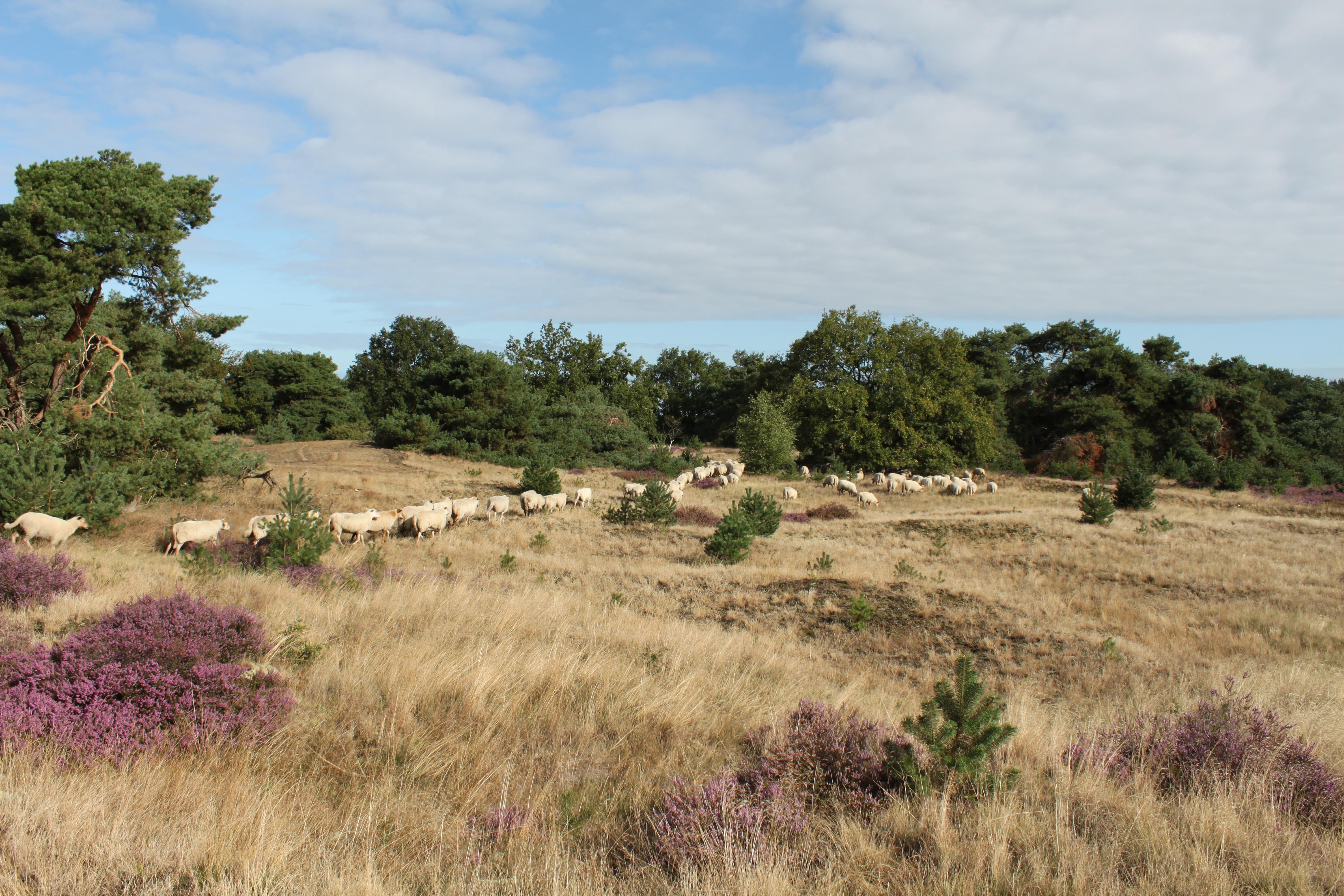 schapen volgen de herder