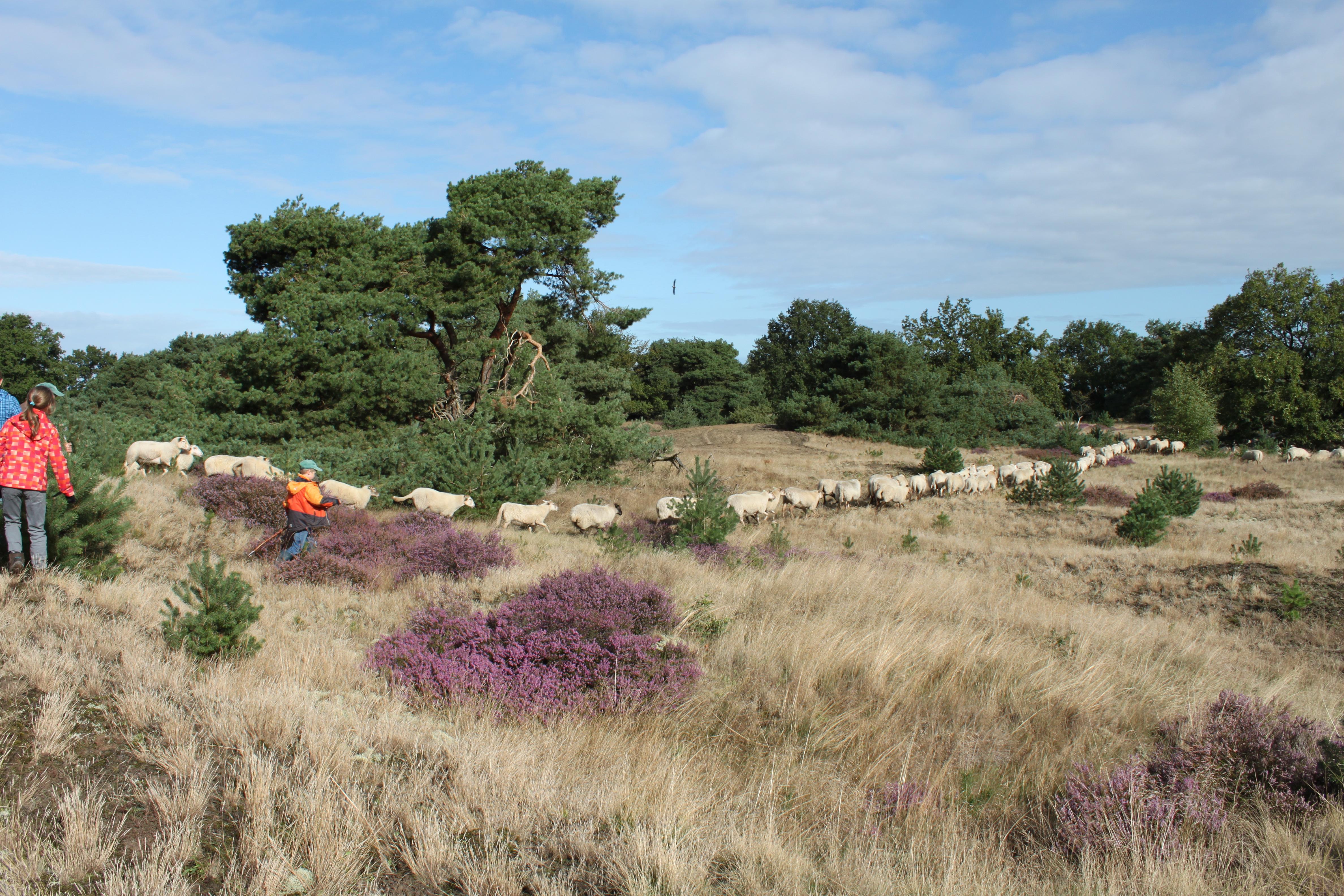 schapen volgen de herder2