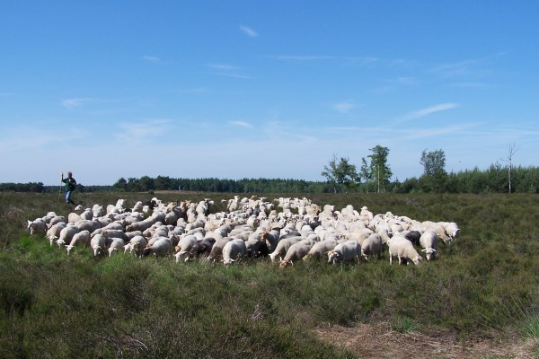 herder met schaapskudde op de groote heide