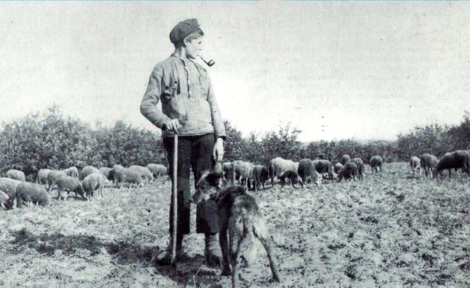 schaapsherder driek van mierlo in 1908