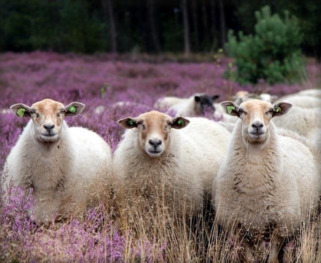 paarse heide met schapen