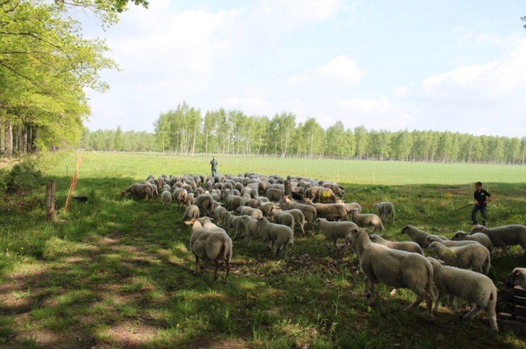 Schapen met de herders