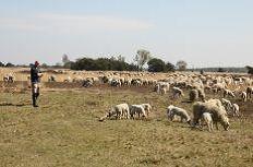 schapen op hei